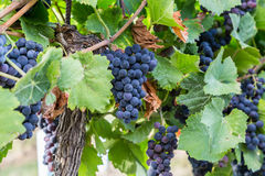 Bunch of Red Wine Grapes on a Tree at a Vineyard Royalty Free Stock Photos