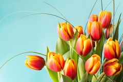 Bunch of red and yellow tulip flowers on blue background. Stock Image