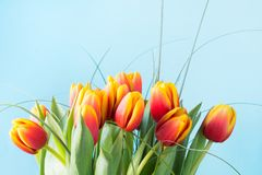Bunch of red and yellow tulip flowers on punchy blue background. Spring concept. Stock Image