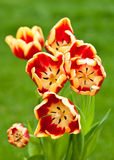 Bunch of red and yellow tulips front view. Bunch of blooming red and yellow tulips on green background (vertical, front view Royalty Free Stock Photo