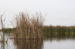 Bunch of reed - RAW format Stock Photography