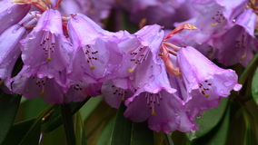 Bunch of Rhododendron flowers Stock Photography