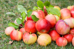 A bunch of ripe apples on a grass Stock Image