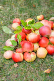 A bunch of ripe apples on a grass Stock Photos