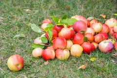 A bunch of ripe apples on a grass Stock Photo