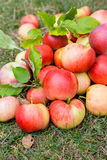 A bunch of ripe apples on a grass Royalty Free Stock Images