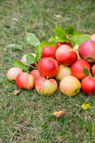 A bunch of ripe apples on a grass Royalty Free Stock Photo