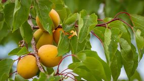 Bunch of ripe apricots on a branch on a sunny day. stock images