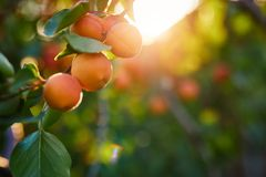 A bunch of ripe apricots on a branch. At sunset royalty free stock images