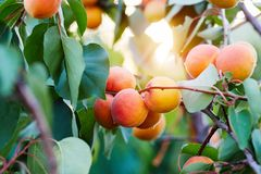 A bunch of ripe apricots on a branch stock photo