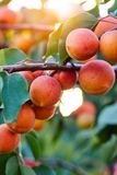 A bunch of ripe apricots branch. In sunshine royalty free stock images