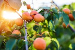 Ripe apricots branch in sunshine royalty free stock photography