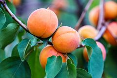 A bunch of ripe apricots branch royalty free stock images