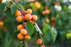 A bunch of ripe apricots. On a tree royalty free stock images