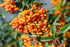 Bunch of ripe ashberry Stock Images
