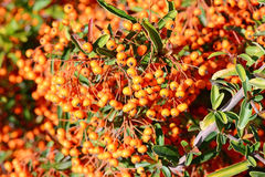 Bunch of ripe ashberry Royalty Free Stock Images