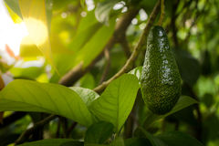 Bunch of ripe avocados on the tree Stock Photos