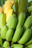 Bunch of ripe banana Royalty Free Stock Photo