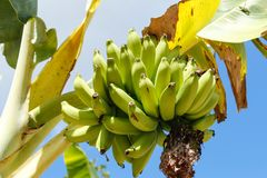 Bunch of ripe bananas on banana tree royalty free stock images