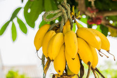 Bunch of ripe bananas. Tied to a tree Royalty Free Stock Photography