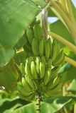Bunch of ripe bananas on tree. Agricultural plantation at Spain island. Unripe bananas in the jungle close up. Bunch of ripe bananas on tree. Agricultural Royalty Free Stock Photo