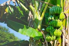 Bunch of ripe bananas on tree royalty free stock photo