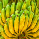 Bunch of ripe bananas on a tree in plantation Royalty Free Stock Photo