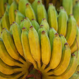 Bunch of ripe bananas on a tree in plantation Stock Image