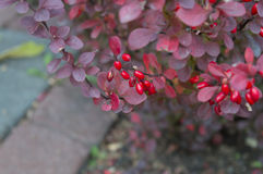 Bunch of ripe barberry berries Stock Photo