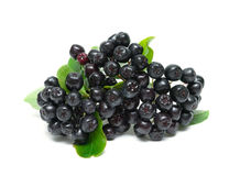Bunch of ripe berries of Aronia isolated on a white background royalty free stock image