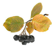 Bunch of ripe black chokeberry Royalty Free Stock Image