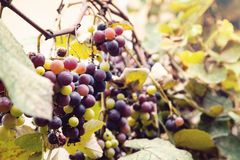 Bunch of ripe black grapes stock image