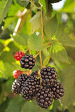 Bunch of ripe blackberries Stock Images