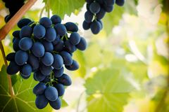 Bunch of ripe blue grape hanging from the vine, warm tone background with empty place for text. Wine season and harvest concept. stock photos