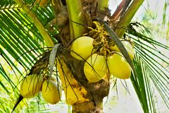 Bunch of ripe coconuts Royalty Free Stock Photo
