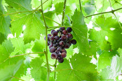 Bunch of ripe dark red grapes in green foliage Royalty Free Stock Photo