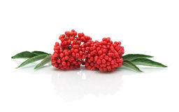Bunch of ripe elderberry on a white background with reflection royalty free stock photos