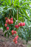 Bunch of ripe fresh lychees hanging down from the. Stock Photos