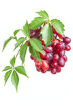 Bunch ripe, fresh red grapes with leaves. Bunch ripe, fresh red grapes with leaves isolated on a white background Royalty Free Stock Photos