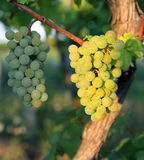 Bunch of ripe grapes growing in vineyard Royalty Free Stock Images