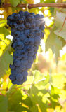 Bunch of ripe grapes hanging on the vine Stock Images