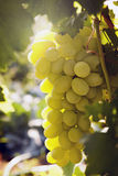 Bunch of ripe grapes. In the sun Stock Image