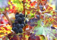 Bunch of ripe grapes in the vineyard Royalty Free Stock Images