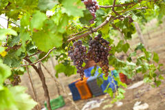 Bunch of ripe Grapes in vineyard Royalty Free Stock Photo