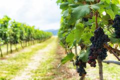 Bunch of ripe grapes in the vineyards Royalty Free Stock Photo