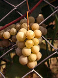 Bunch of ripe grapes Stock Photography