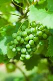 Bunch of ripe green grapes Royalty Free Stock Photography