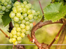 Bunch of ripe green grapes on vine Stock Photography