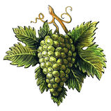Bunch of ripe green grapes, watercolor illustration, hand drawn Royalty Free Stock Photos