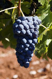 Bunch of ripe juicy grapes. A closeup up view of a bunch of deep blue, ripe and juicy grapes, still on the vine and ready for picking Royalty Free Stock Photo